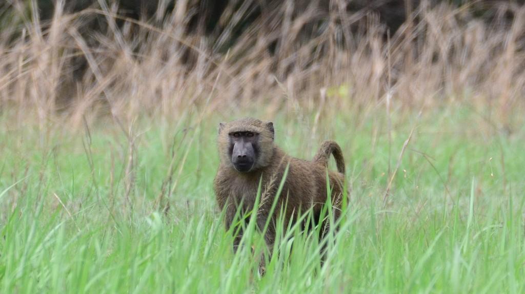 Baboon at Shai Hills | © Rene Mayorga/Flickr