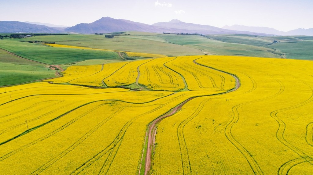 Canola Fields in the Cape Overberg   © Craig Howes