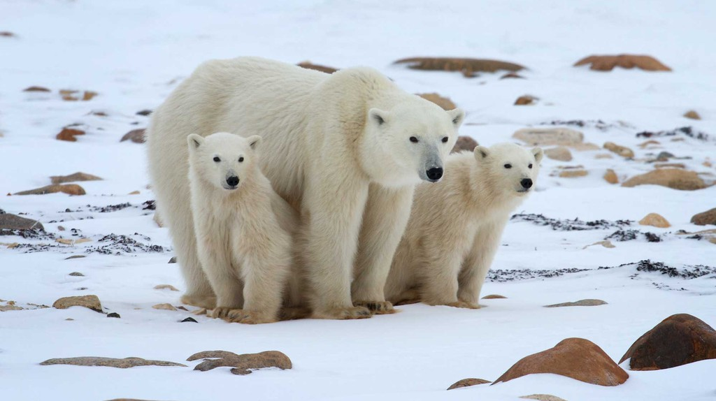 A polar bear and her two cubs   © Henry Holdsworth / Natural Habitat Adventures