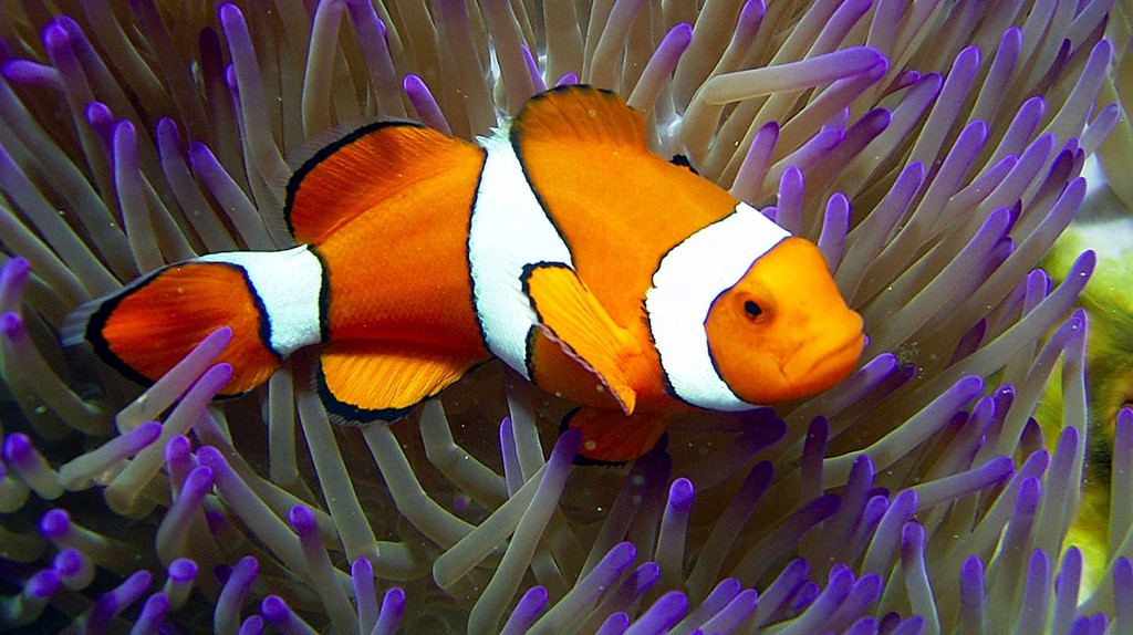 Clownfish at Reef HQ, Townsville | Courtesy of Reef HQ