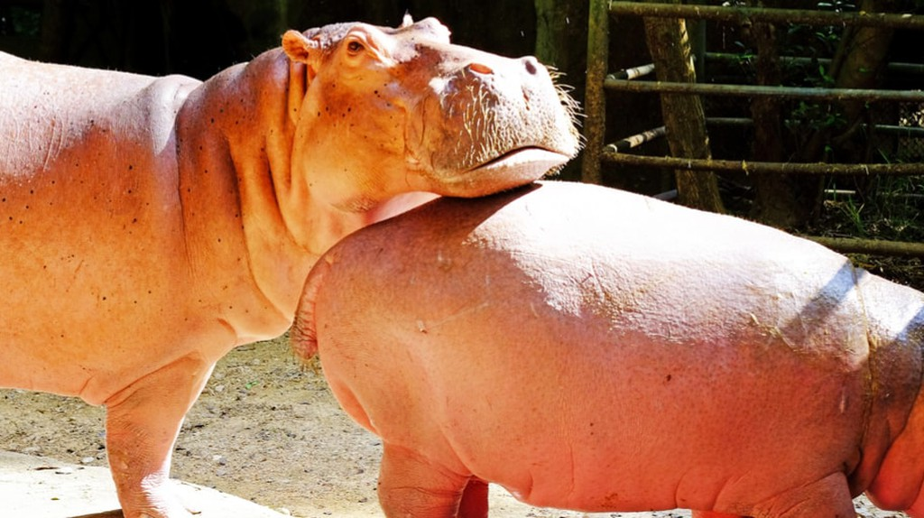 Wander Through This Surreal Town Where Hippos Roam Free