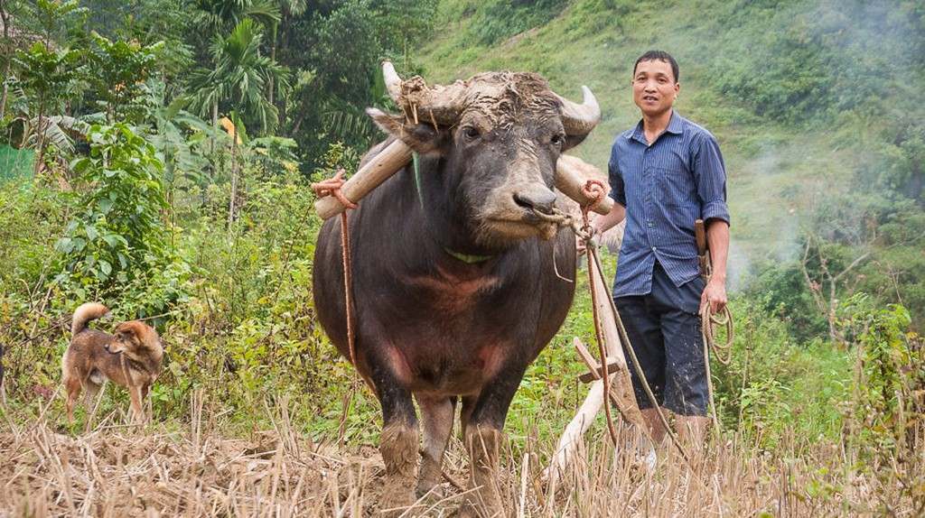 Water Buffalo: 11 Facts About Vietnam's National Animal