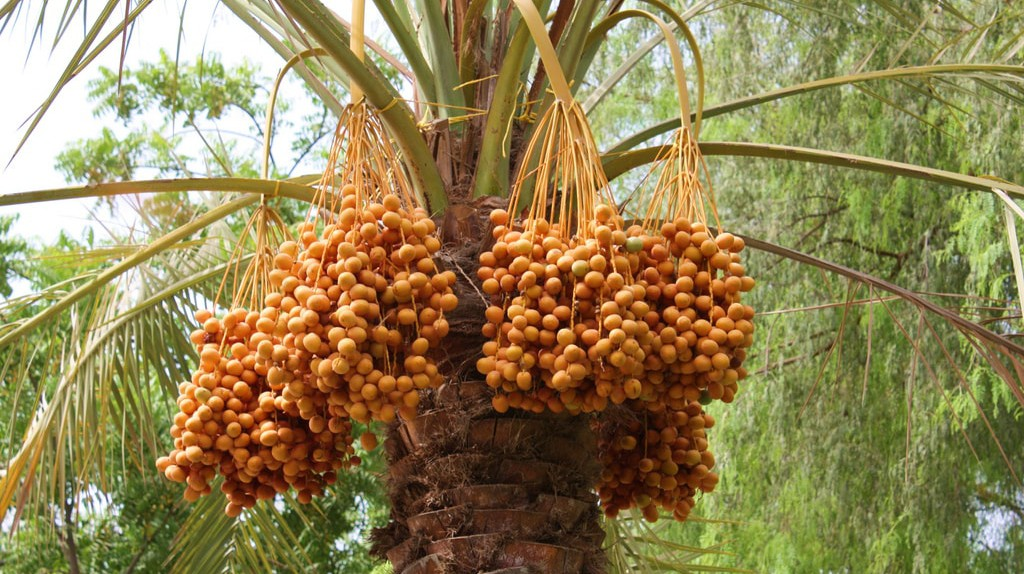 The cultivation of dates has long been part of Emirati tradition | © Jan Smith/Flickr