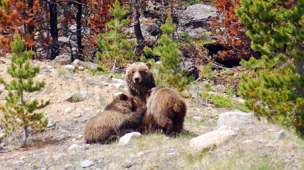 Grizzly mother with her cubs | © Philippe Henry / Flickr