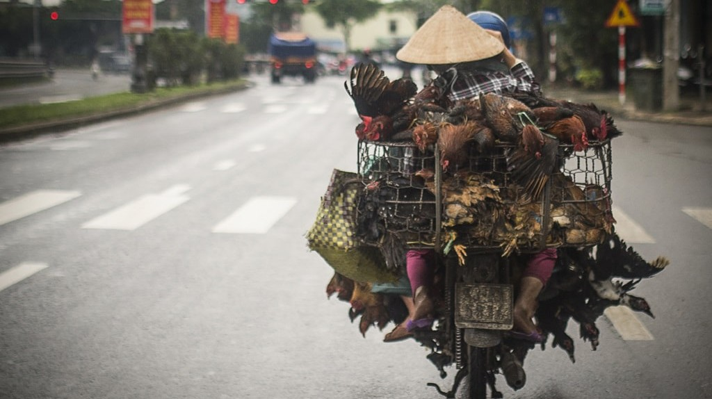 Maybe they're going to a chicken amusement park | © Travel Wild/Shutterstock
