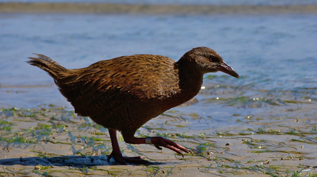 Stewart Island weka on the beach | © Tomas Sobek/Flickr
