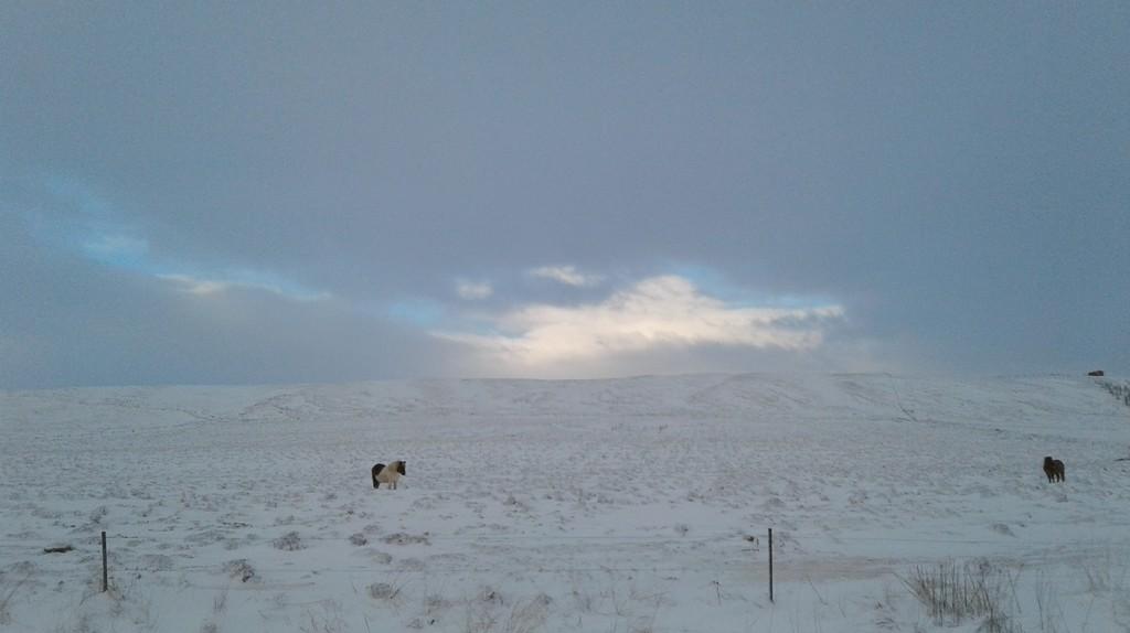 Icelandic pony   © Erin Honeycutt