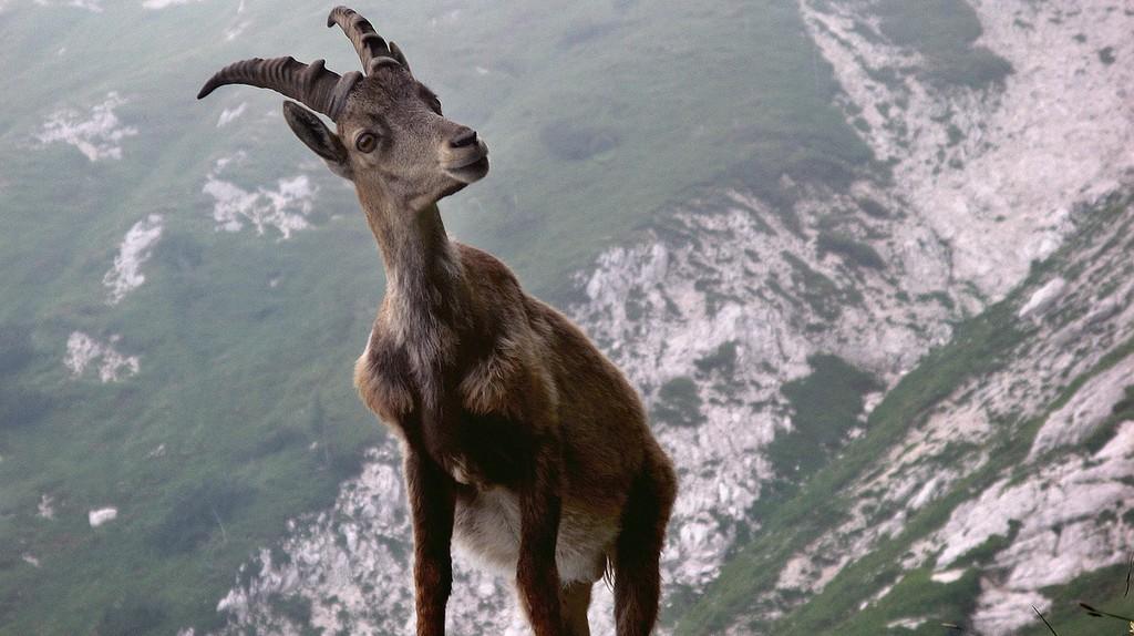 Ibex in the Swiss Alps | © sAlesa/ Pixabay