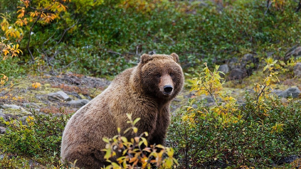 The Alaska grizzly looks similar to the now-extinct California grizzly bear | ©Max Pixel / FreeGreatPicture.com