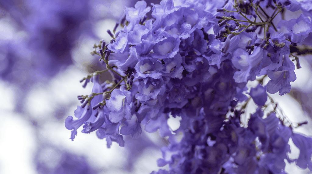 Closeup of jacaranda flowers   ©Christianabella/Pixabay