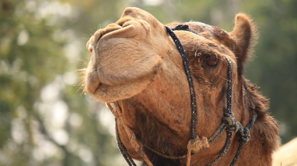 Kazakh camel   © Ajayvir Pal/Pexels