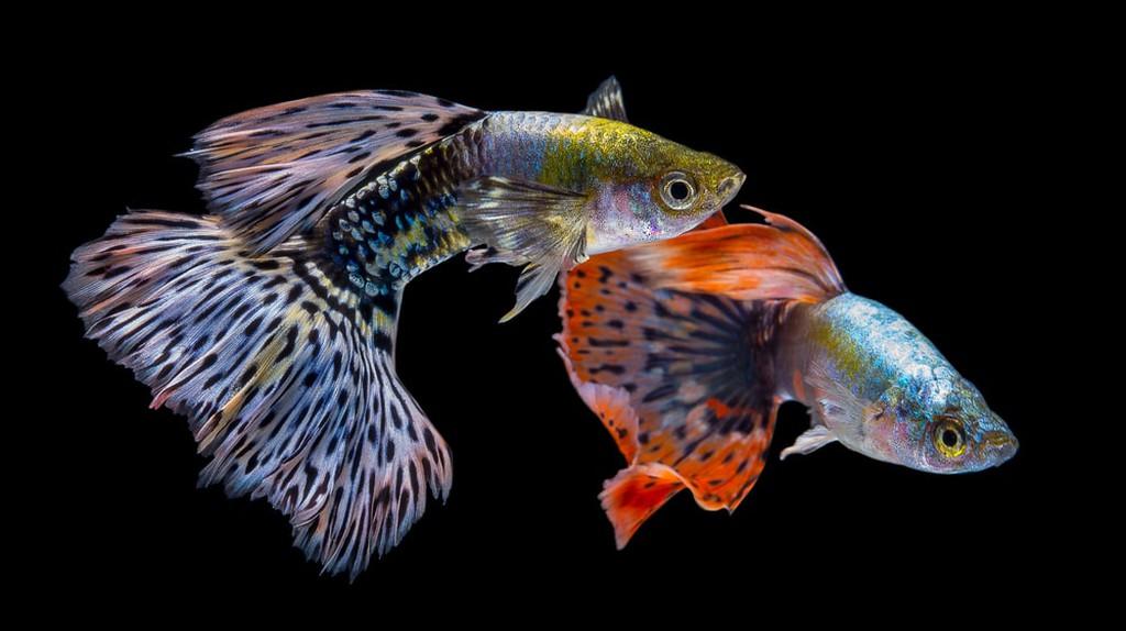 Guppy fish © nokkaew/ Shutterstock.com