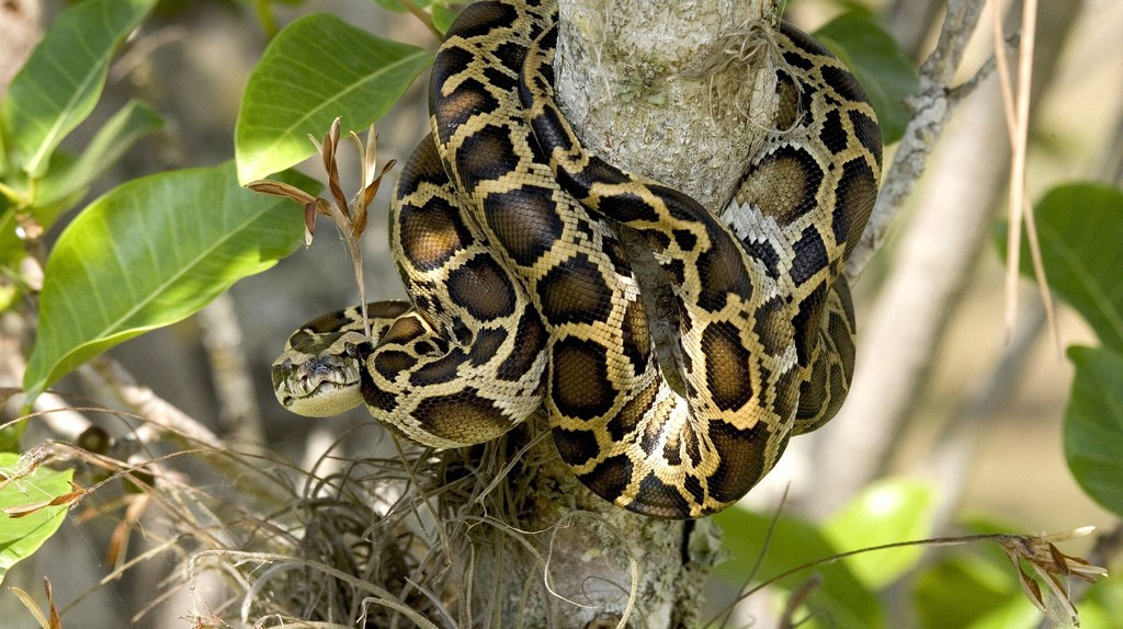 Burmese python in the Everglades   © skeeze / Pixabay