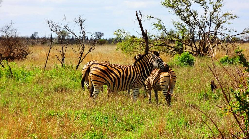 Zebras sighted during a game drive, Uganda © Olive Nakiyemba