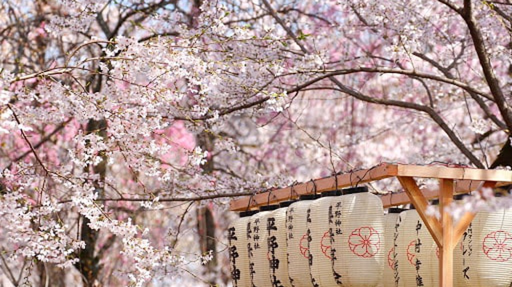 Japanese lantern in the park filled with Sakura