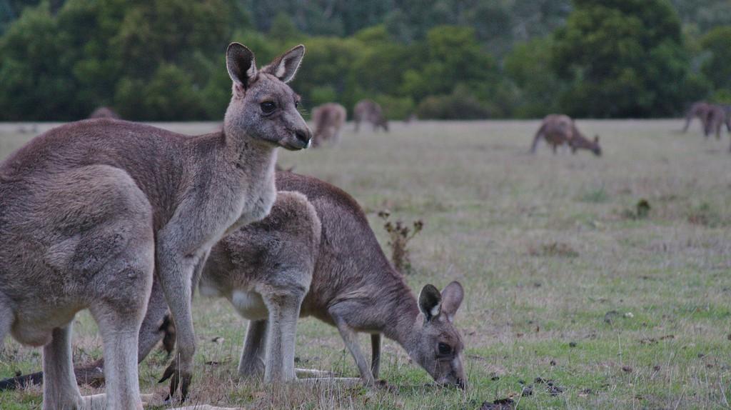 Kangaroos in Grampians National Park