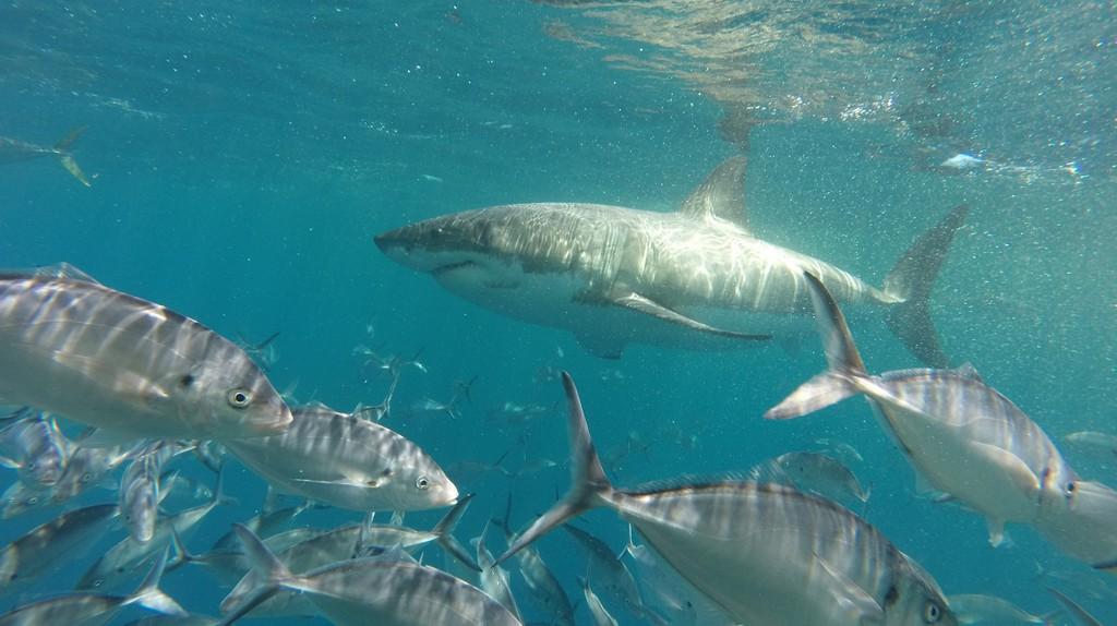 Great white shark   © Courtesy of Tom Smith