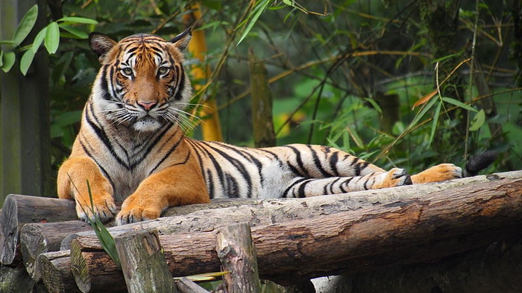 Malayan tiger | © Tu7uh / WikiCommons