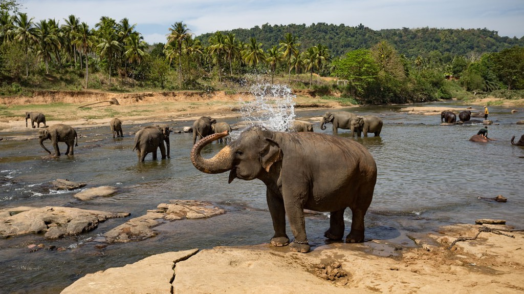 Pinnawala Elephant Orphanage. Sri Lanka