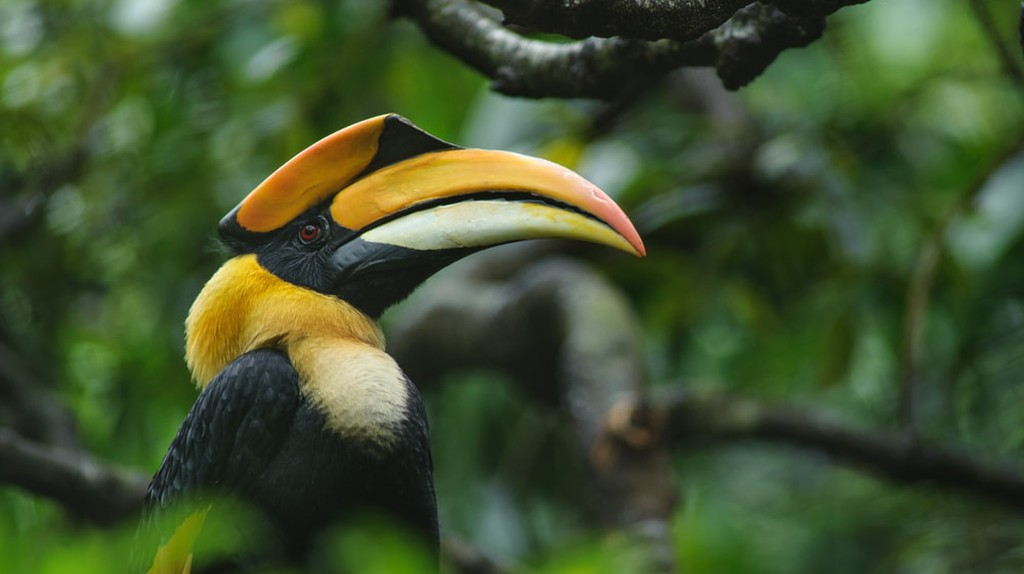 Great pied hornbill in rainforest | © Signature Message/Shutterstock