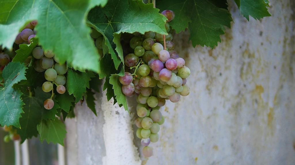 Grapes at a vineyard