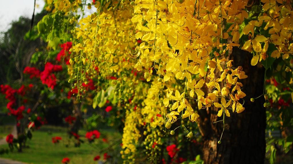 The bright yellow flowers of ratchaphruek   © Thanate Tan / Flickr