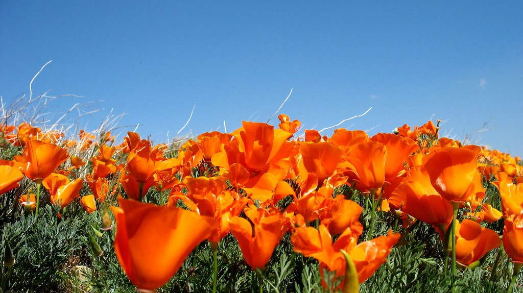 Poppies in the Antelope Valley Poppy Reserve