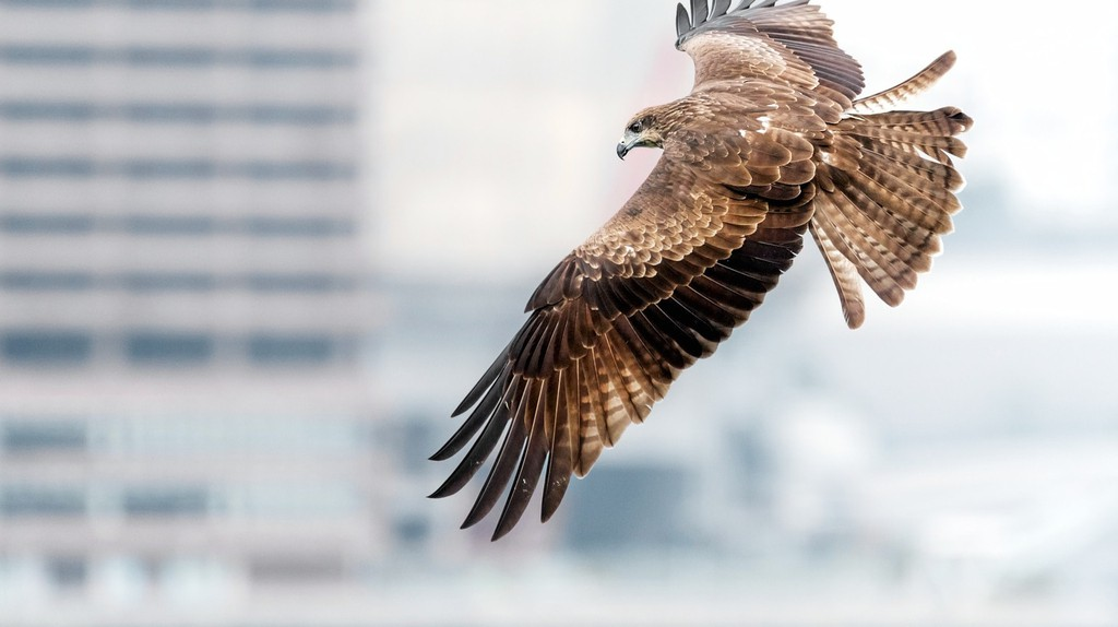 Hong Kong Birds of Prey Black Kites