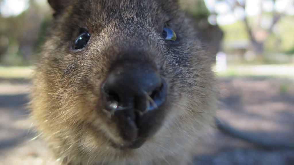 Quokka up close