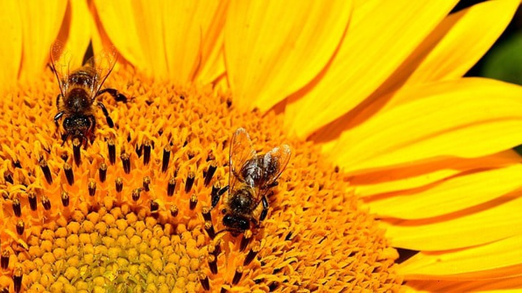 The bees are important   © Alexas_Fotos / Pixabay