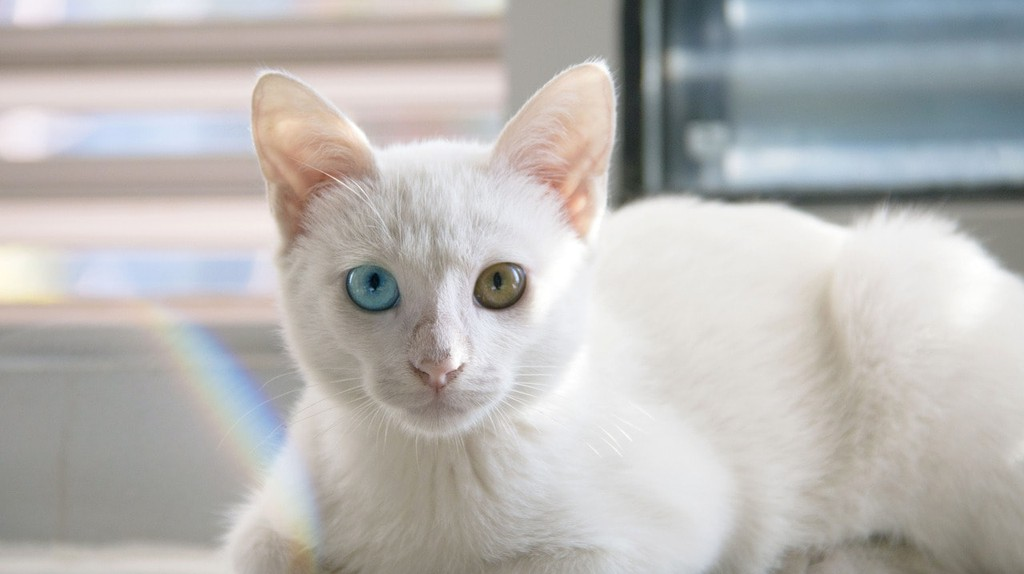 The Khao Manee cat is famous for its odd-coloured eyes, depicted in many paintings in some temples of Thailand. Its rare features were associated with good luck, and were originally kept and bred exclusively by royals in the Siamese Kingdom.