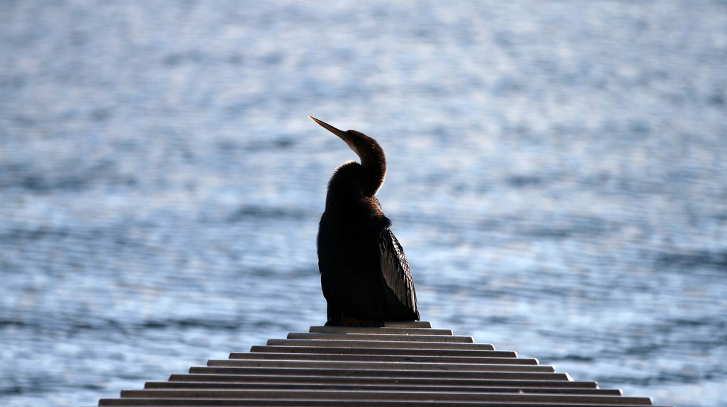 An anhinga, or snakebird, rests near the water at Lake Eola Park