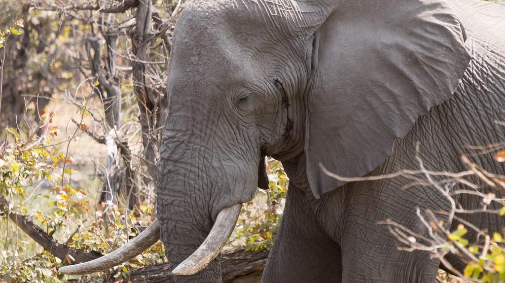 Interact with the mighty elephants of the Okavango Delta