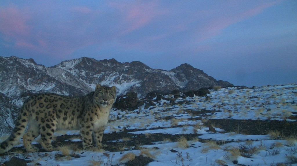 A wild Snow Leopard in Mongolia