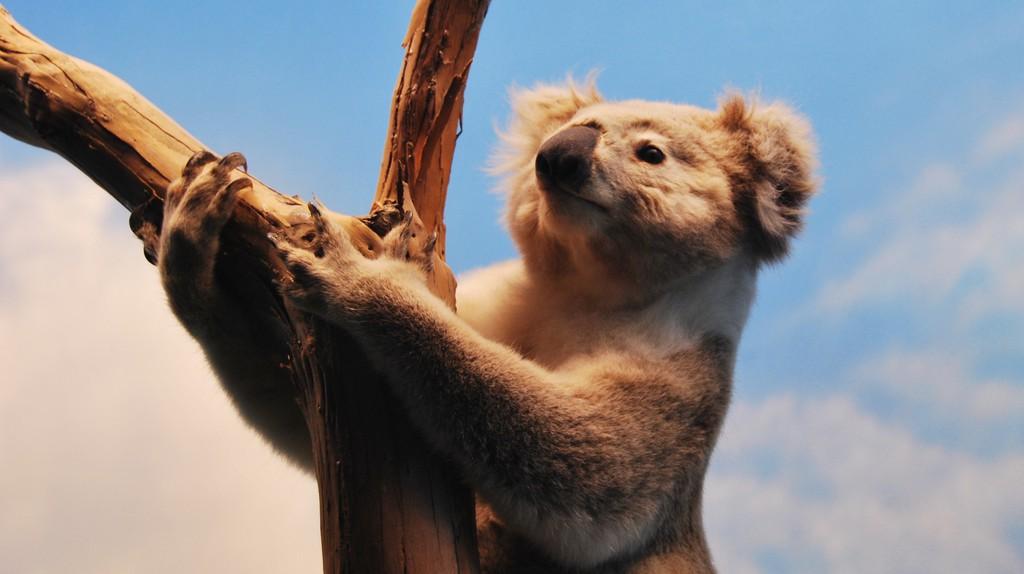 A koala climbing a tree