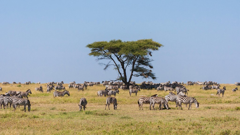 Zebras grazing in the Serengeti, Tanzania, Africa.