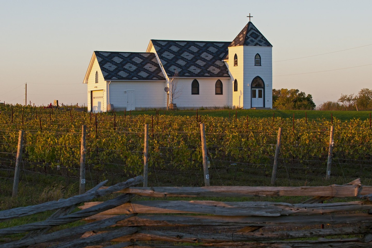 Vineyard in Prince Edward County