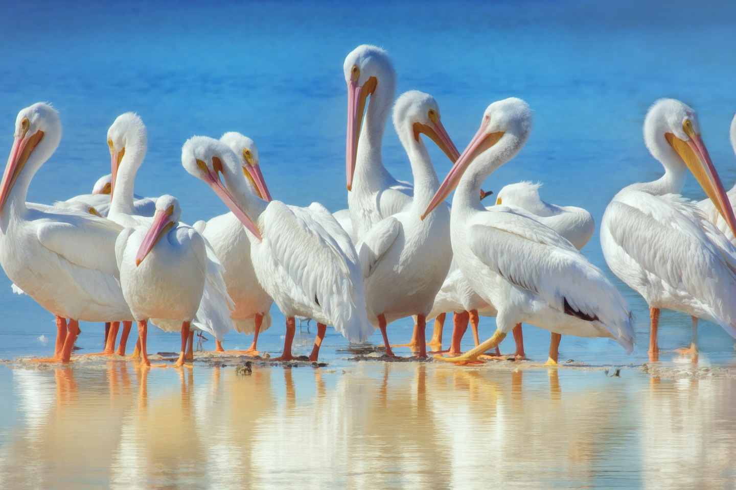 White Pelicans and Reflections at Ding Darling Reserve