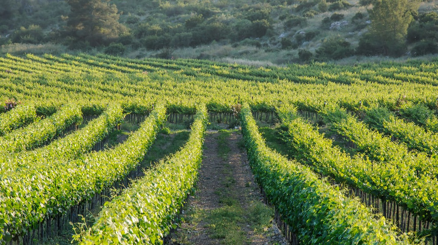 Vineyards in Israel | © Irina Fuks/Shutterstock