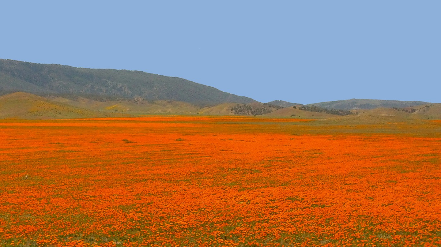 "California Poppies (aschschoizia Californica) © Gregory ""Slobirdr"" Smith/flickr"