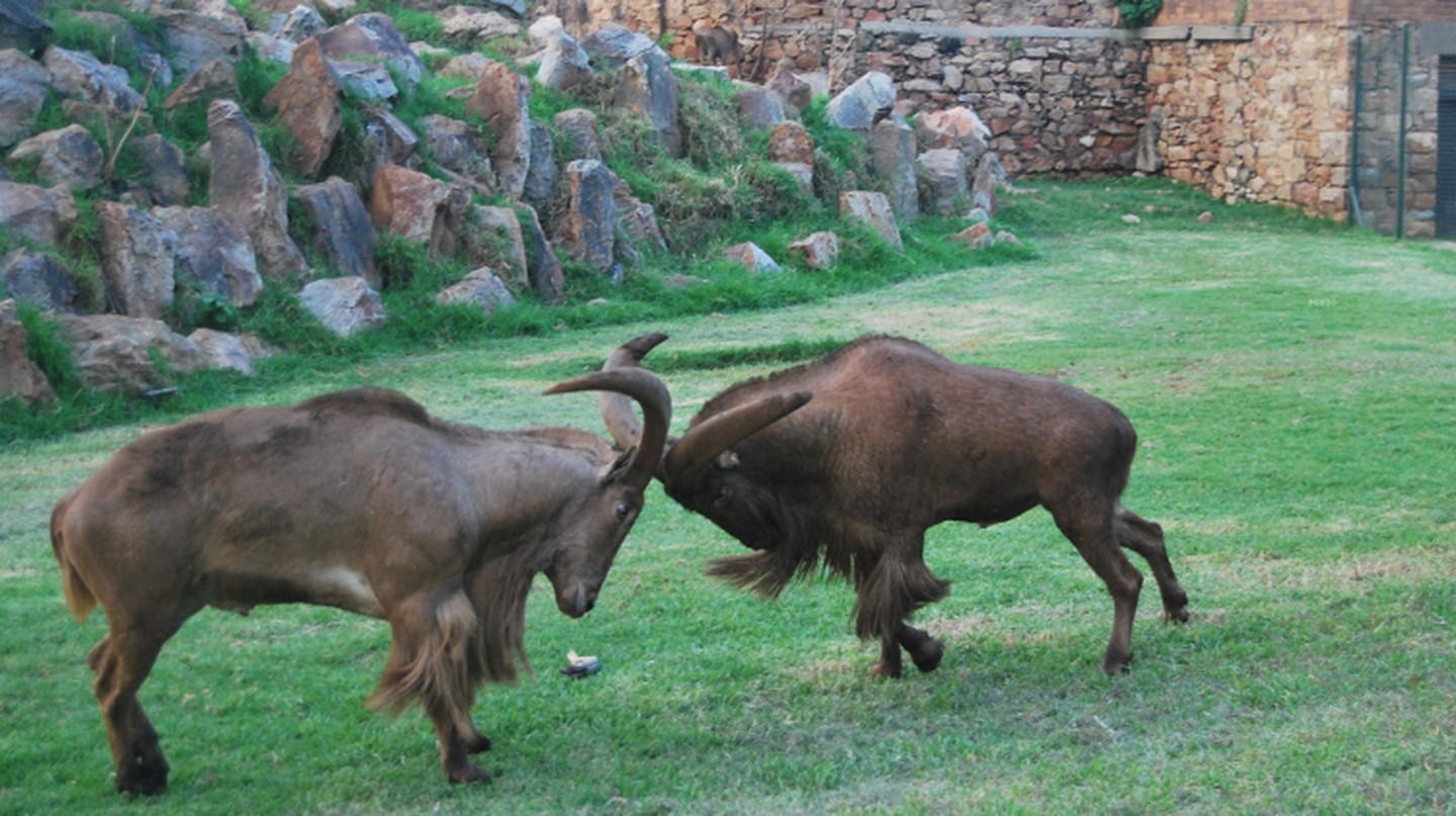 Mountain goats at Johannesburg Zoo | © Baynham Goredema/Flickr