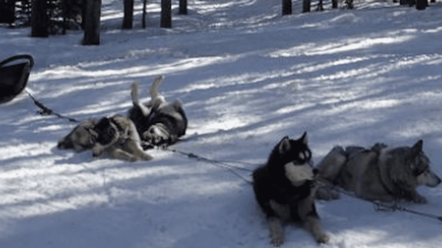 An Alaskan Adventure | Dog Sledding in Breckenridge, CO