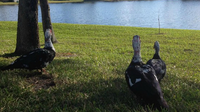 Ducks in Weston, Florida | © Paulo Castro/Flickr