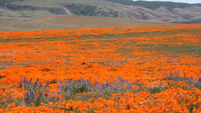 California Poppy Fields   ©Jerry/Flickr