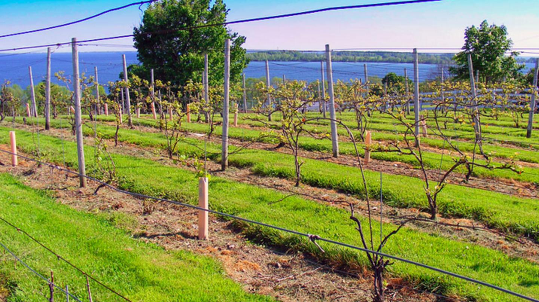 Vineyard-Waupoos-Ontario | © Plismo/WikiCommons