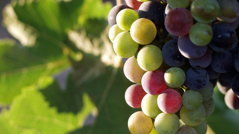 Grapes During Pigmentation -  © Tomas Castelazo/Wikicommons