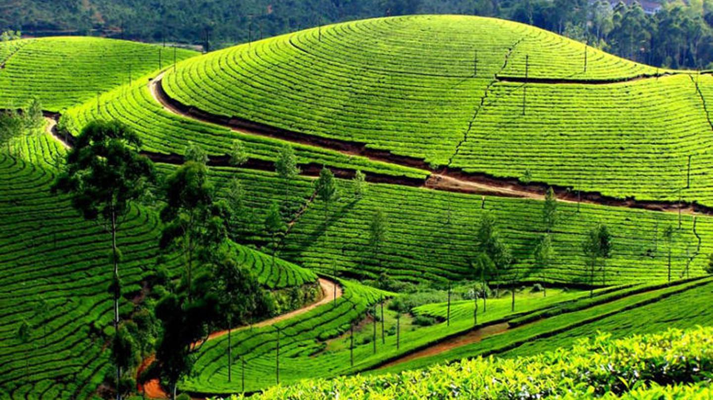 Lush green tea gardens of Darjeeling. Photo courtesy:http://goo.gl/oaDwCF