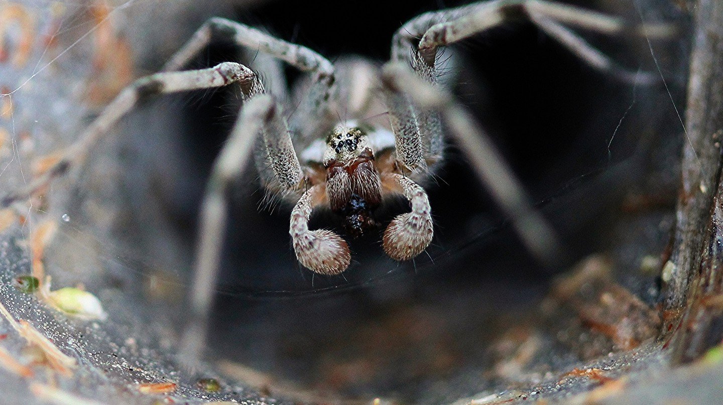 Funnel-Web Spider | © Renee Grayson/Flickr