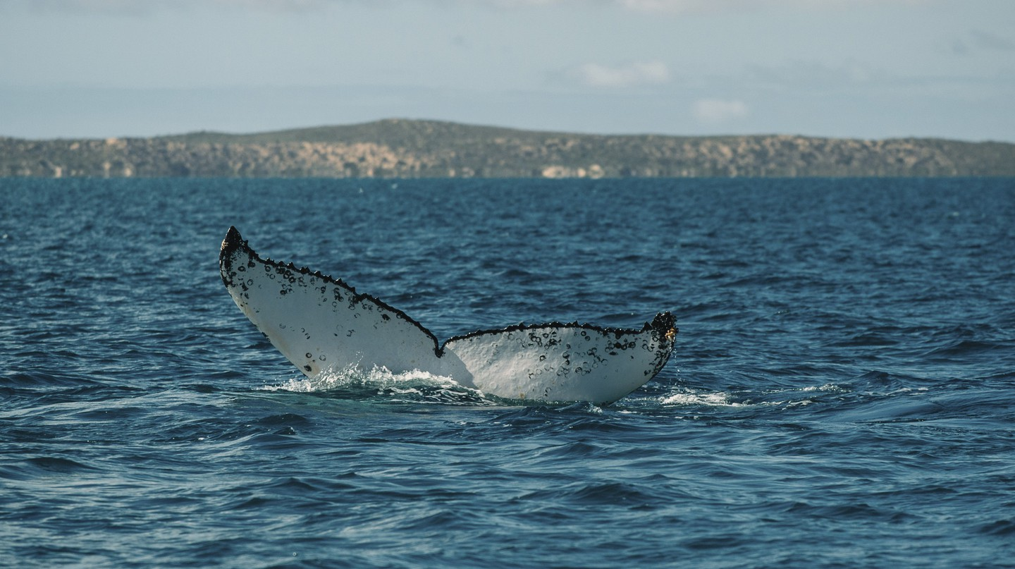 Humpback Whale | Courtesy of Elements MR