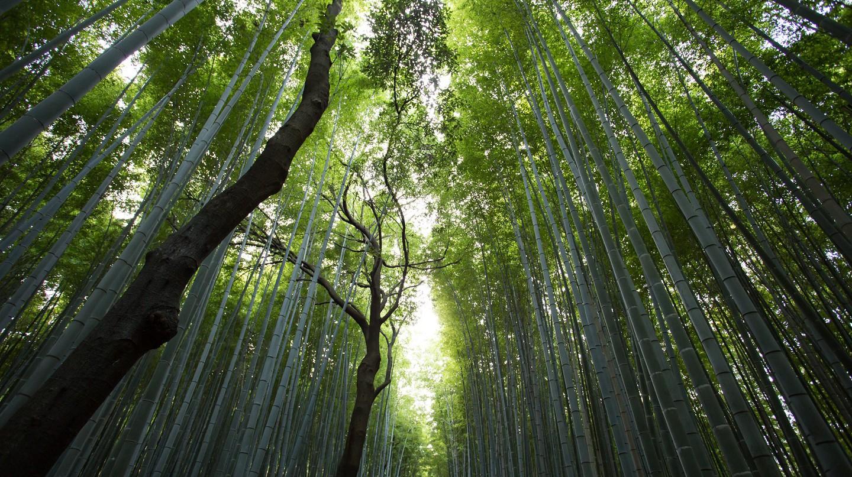 Bamboo Forest | © Jason Ortigo/Unsplash